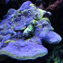 Montipora purple