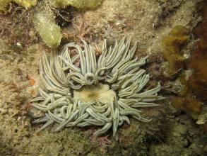 Phymanthus Sp. (sasanka)