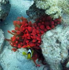 Entacmaea Quadricolor (Red sasanka)