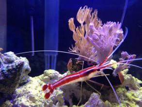 Xenia coral
